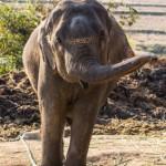 photo d'un éléphant retenu par ses chaînes